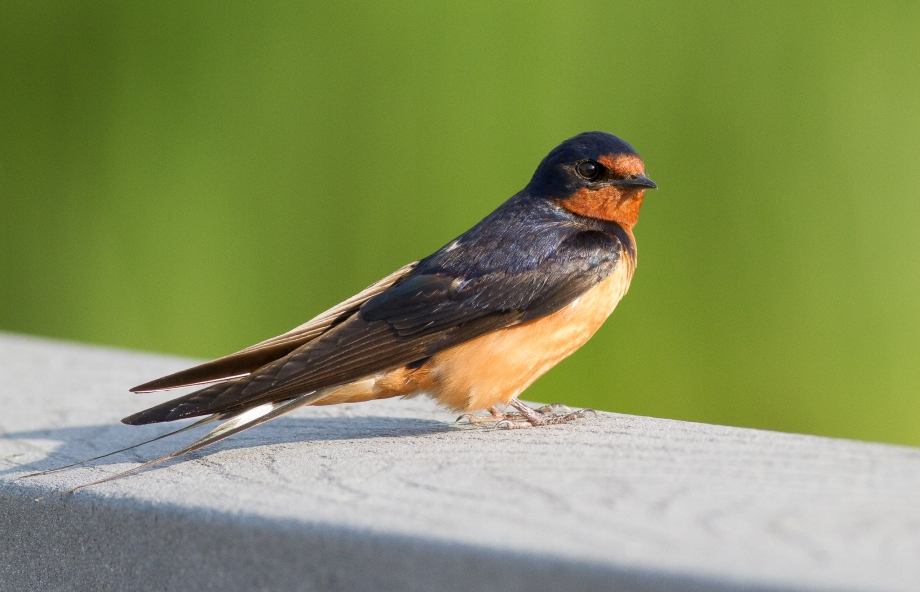 Barn Swallow 2017-07-03 John Heinz NWR, Philadelphia Co., PA-14