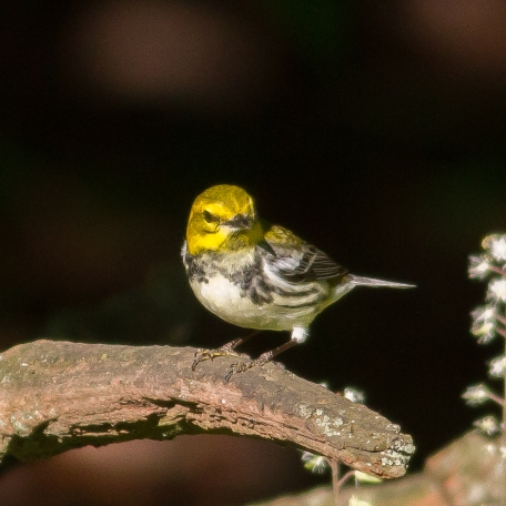 Black-throated Green Warbler 2017/05/16 West Chester, Chester Co., PA
