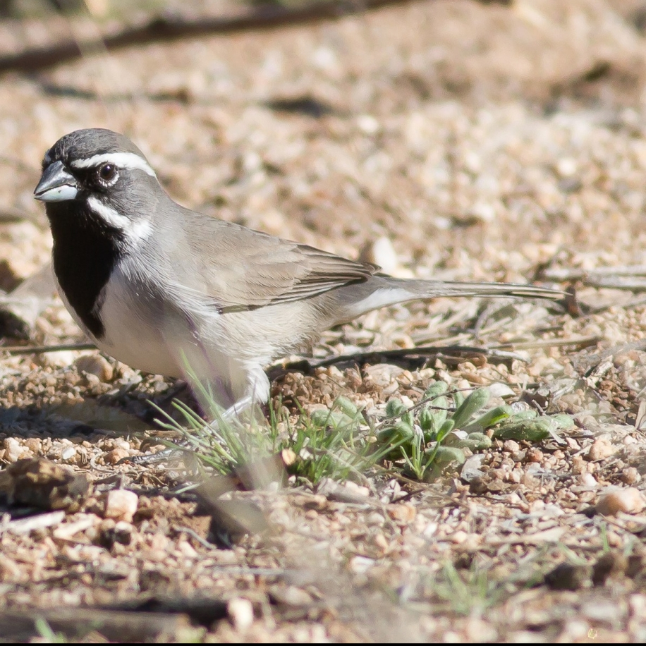 Black-throated Sparrow 2016-02-21 Catalina S.P., Pima Co., AZ