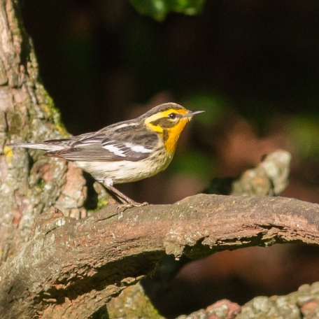 Blackburnian Warbler 2017/05/16 West Chester, Chester Co., PA