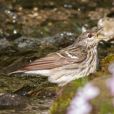 Blackpoll Warbler 2015/05/25 West Chester, Chester Co., PA