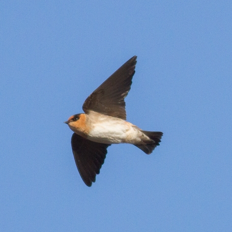 Cave Swallow 2015/11/14 Cape May, Cape May Co., NJ