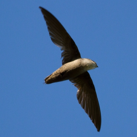 Chimney Swift Exton Park, Chester Co., PA June 28, 2017