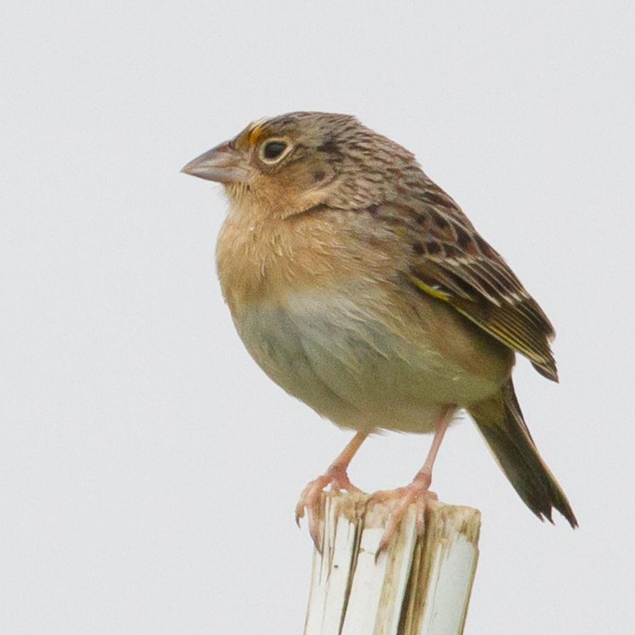 Grasshopper Sparrow 2017-05-13 Honeybrook Twp., Chester Co., PA
