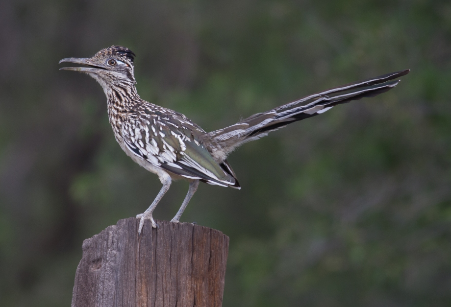 Greater Roadrunner 2017-09-04 Arivaca, Pima Co., AZ-19
