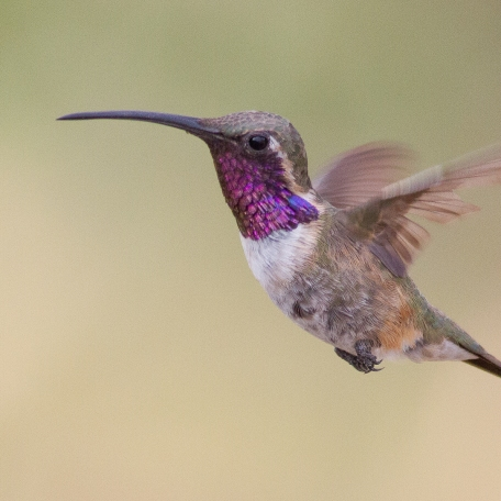 Lucifer Hummingbird Ash Canyon B&B, Cochise Co., AZ September 2, 2017