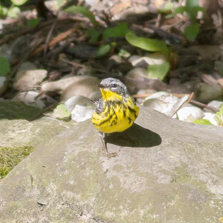 Magnolia Warbler 2017/05/16 West Chester, Chester Co., PA