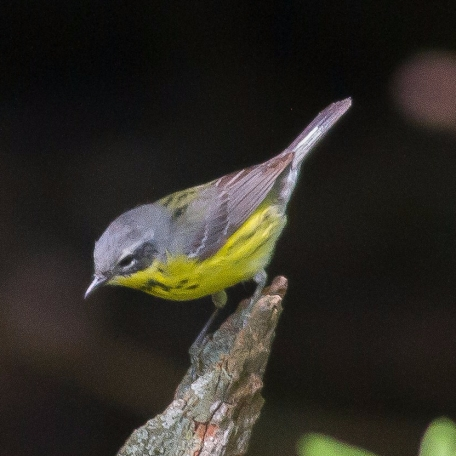 Magnolia Warbler 2017/05/27 West Chester, Chester Co., PA