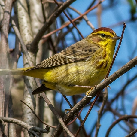 Palm Warbler 2015/04/21 ChesLen Preserve, Chester Co., PA