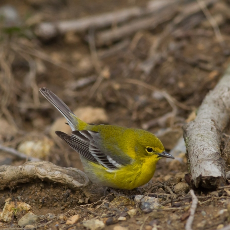 Pine Warbler 2017/04/07 Marsh Creek S.P., Chester Co., PA