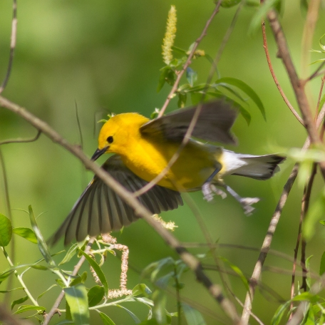 Prothonotary Warbler 2016/05/25 Ridley Creek S.P., Delaware Co., PA