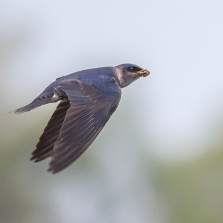 Purple Martin 2015/05/06 Kurtz Fish Hatchery, Chester Co., PA