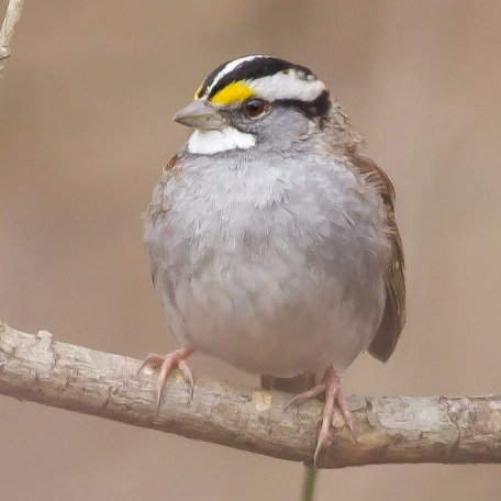 White-throated Sparrow Mt. Olivet Rd., Chester Co., PA