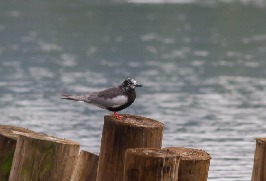 White-winged Tern 2017-08-12 Nessmuk Lake, Tioga Co., PA-60