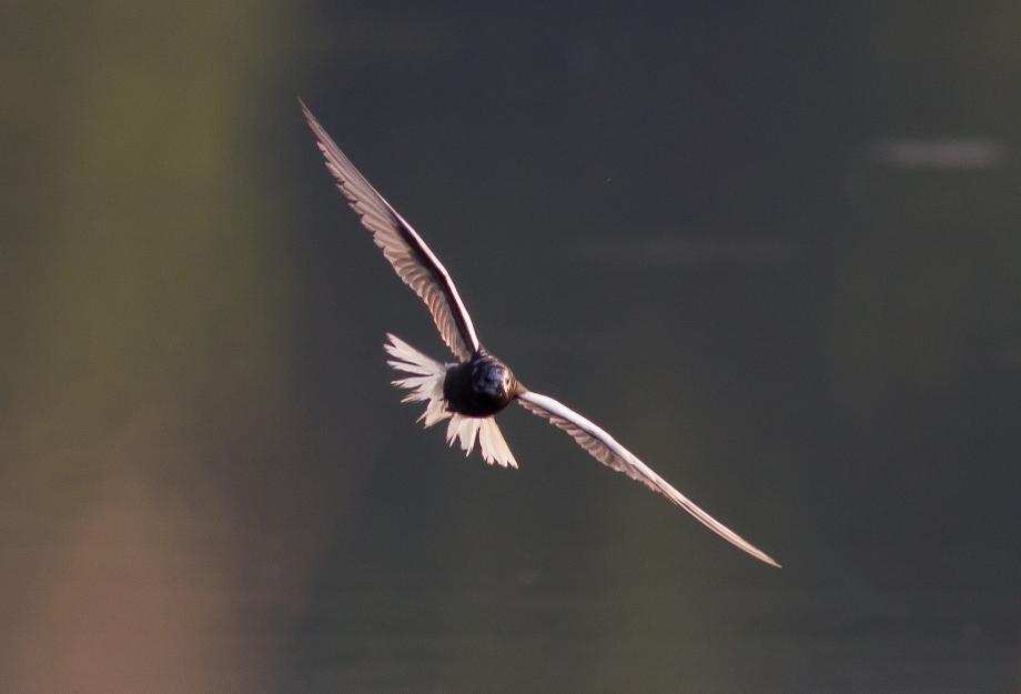 White-winged Tern 2017-08-12 Nessmuk Lake, Tioga Co., PA