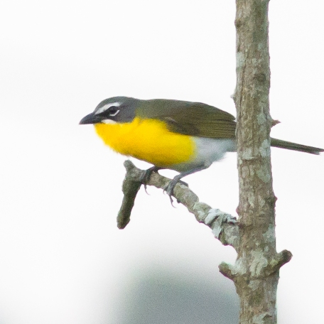 Yellow-breasted Chat 2017/06/13 Goat Hill Area, Chester Co., PA