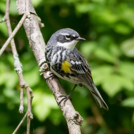 Yellow-rumped Warbler (Myrtle) 2017/05/02 Hibernia Park, Chester Co., PA