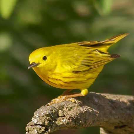 Yellow Warbler 2015/05/04 West Chester, Chester Co., PA