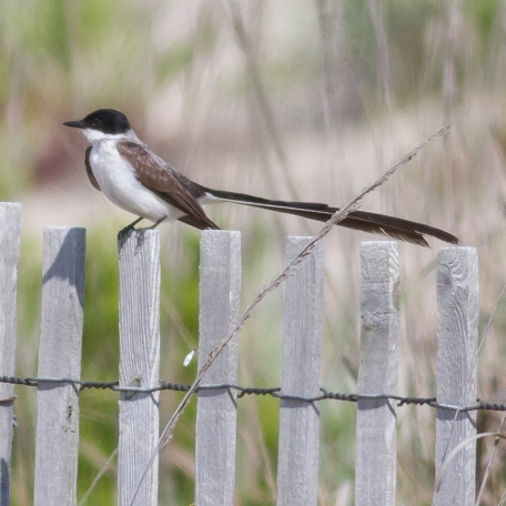 Fork-tailed Flycatcher Cape May, Cape May Co., NJ June 19, 2017