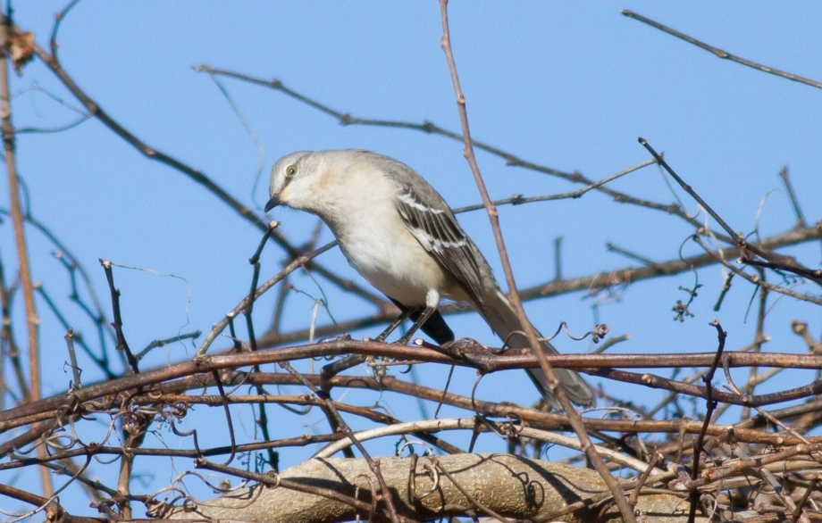 Northern Mockingbird. Queen Anne's County. Maryland