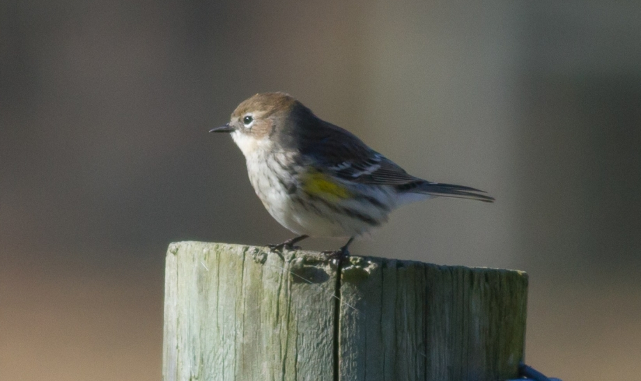 Yellow-rumped Warbler. Queen Anne's County. Maryland