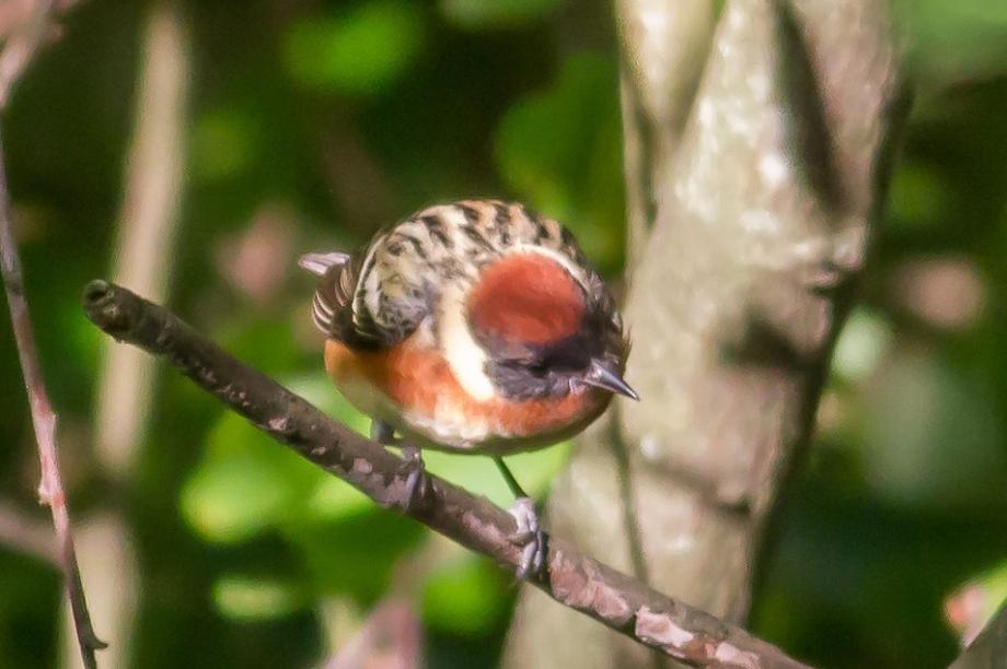 *Bay-breasted Warbler 58412821 copy