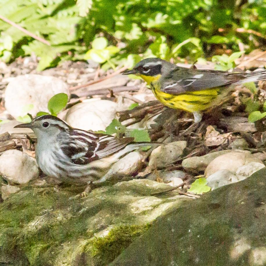 Black-and-white Warbler & Magnolia Warbler