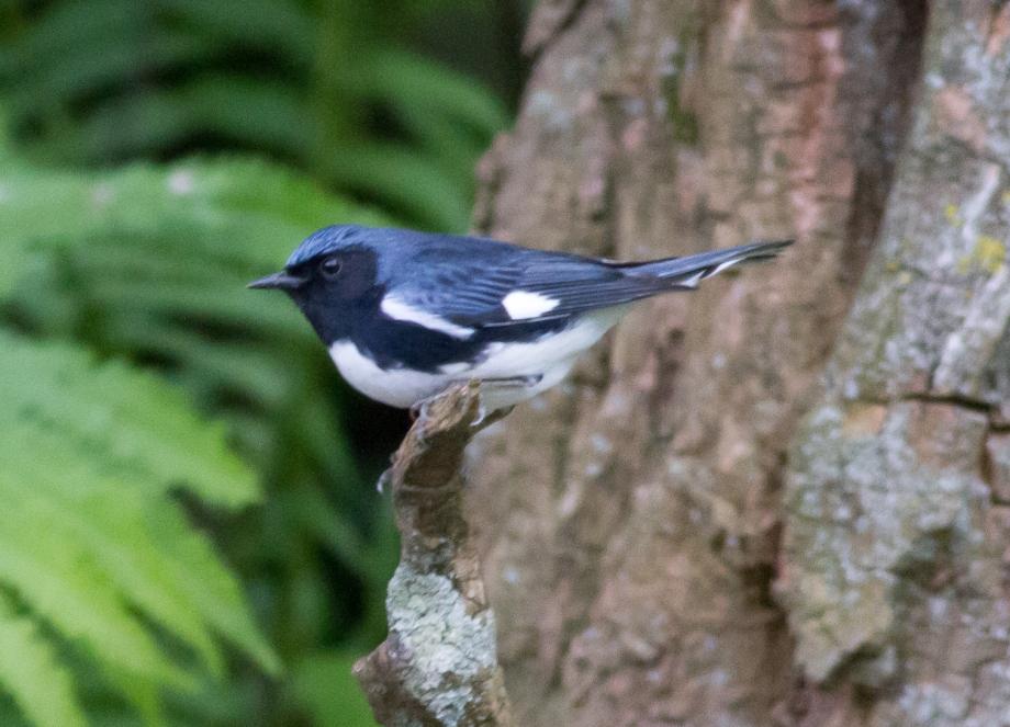 *Black-throated Blue Warbler 93565471 copy