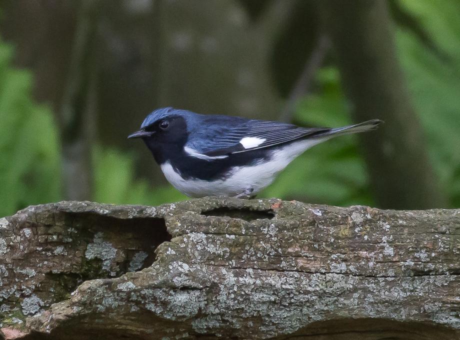 *Black-throated Blue Warbler 93565581 copy