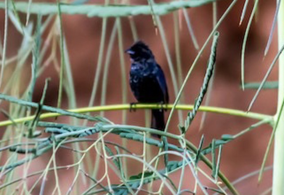 Blue-black Grassquit-1