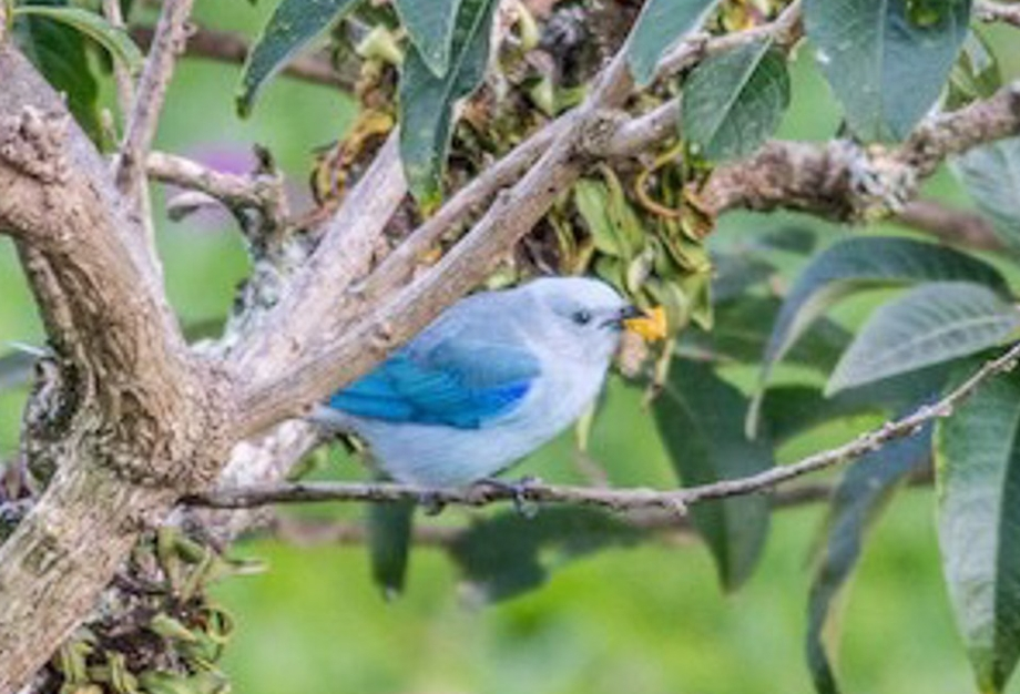 Blue-gray Tanager-1