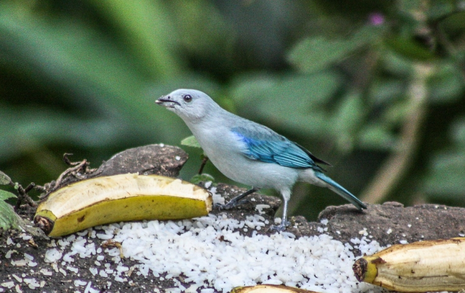 Blue-gray Tanager-1t