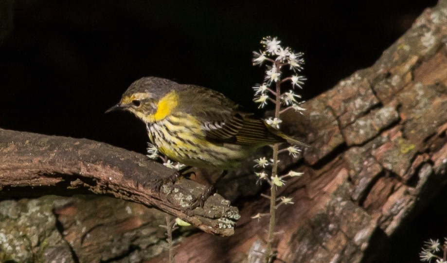 *Cape May Warbler 58414521 copy
