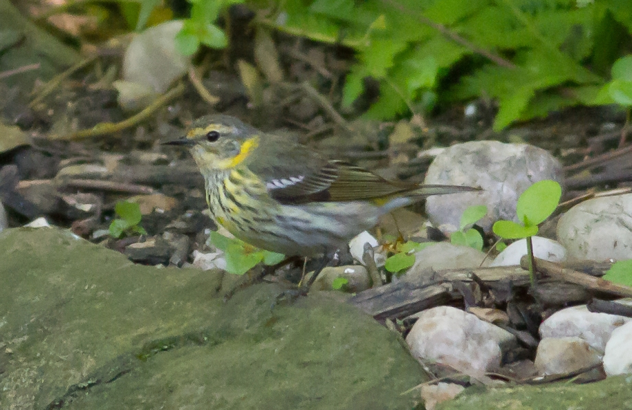*Cape May Warbler 58414531 copy