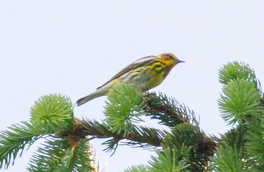 *Cape May Warbler 58464451 copy