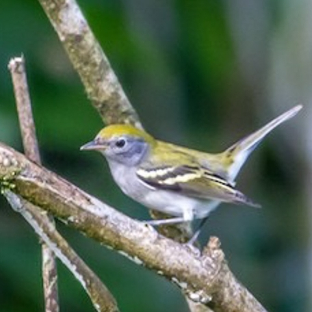 Chestnut-sided Warbler 2015-12-04 Curi-Cancha Refugio, Costa Rica