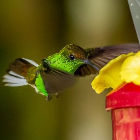 Coppery-headed Emerald 2015-12-03 Hummingbird Gallery, Monteverde, Costa Rica