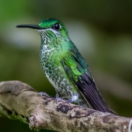 Green-crowned Brilliant 2015-12-03 Hummingbird Gallery, Monteverde, Costa Rica