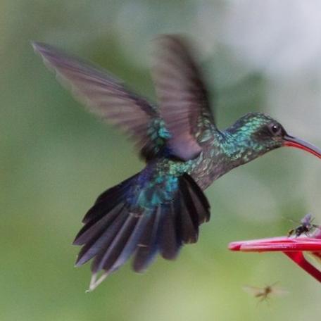 Green Hermit 2015-12-03 Hummingbird Gallery, Monteverde, Costa Rica