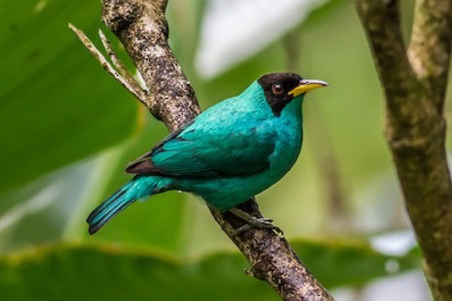 Green Honeycreeper-1