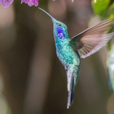 Lesser Violetear 2015-12-01 Paraiso Quetzal Lodge, Costa Rica