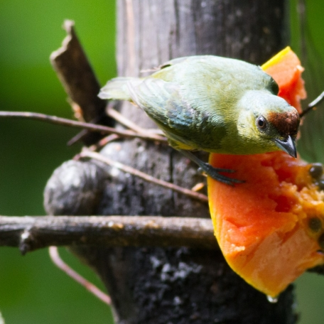Olive-backed Euphonia 2015-11-26 Costa Rica Nature Pavilion, Costa Rica