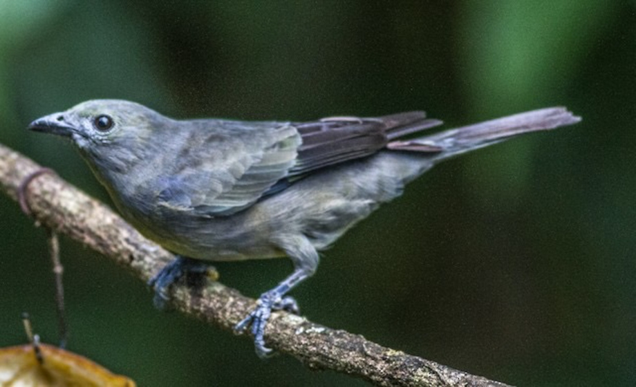 Palm Tanager-1