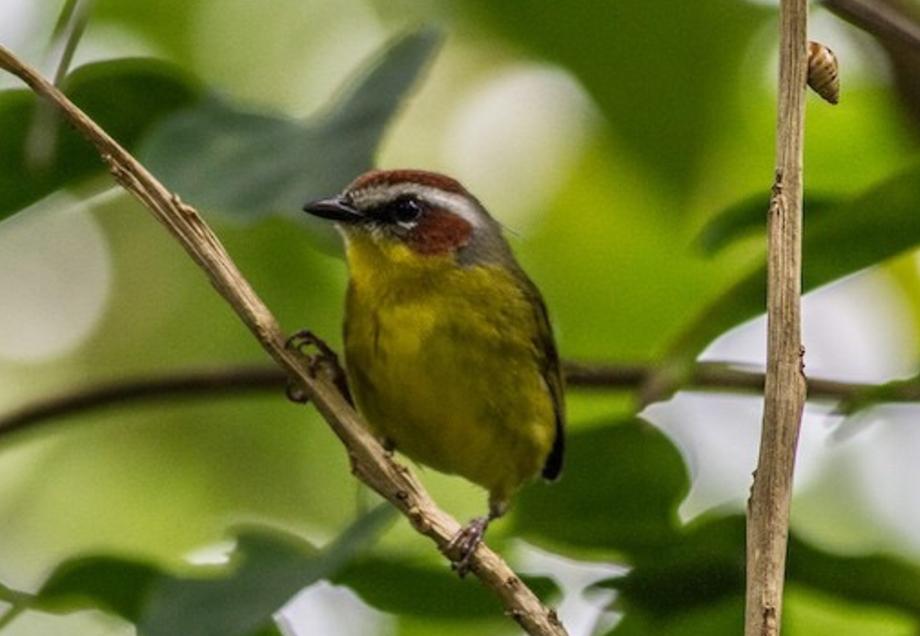 prothonotary-warbler-2015-11-24-hotel-bougainvillea-heredia-costa-rica-1.jpg