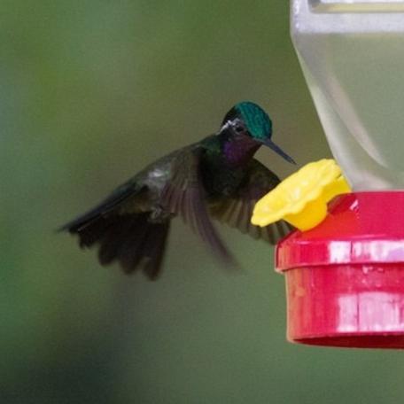 Purple-throated Mountain-gem 2015-12-03 Hummingbird Gallery, Monteverde, Costa Rica