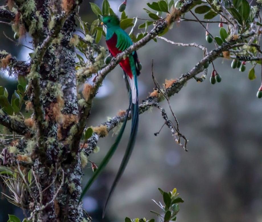 Resplendent Quetzal-4