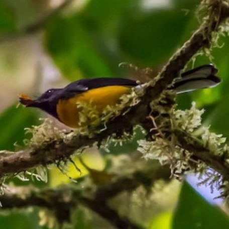 Slate-throated Redstart 2015-12-04 Curi-Cancha Refugio, Costa Rica