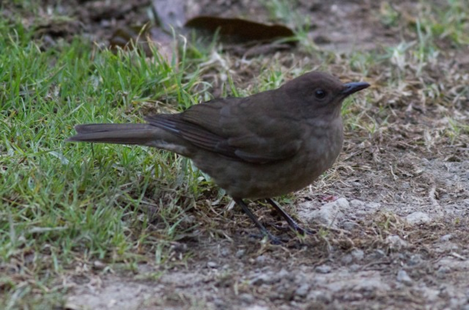 Mountain Thrush-1