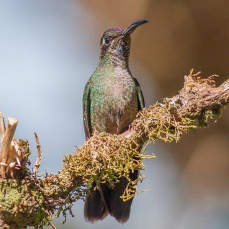 Talamanca Hummingbird 2015-12-01 Paraiso Quetzal Lodge, Costa Rica