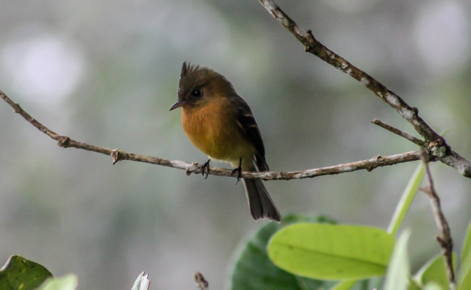 Tufted Flycatcher 2015-11-25 La Paz Waterfall Gardens, Heredia, Costa Rica-2